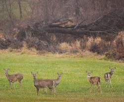 A herd of deer stand in a small field on Robertsville Road in Marlboro. Deer management is crucial in a populated state such as New Jersey, experts say.  STAFF PHOTOGRAPHER ERIC SUCAR
