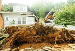 A tree divides a house on Oak Street, Freehold, (above) in the aftermath of a July 28 wind and rain storm. Many old trees (below) were uprooted and will lose their place in town.  PHOTOS BY JEFF GRANIT staff