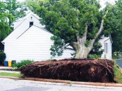 An uprooted tree took out a sidewalk and part of a home on Frances Avenue.  MARK ROSMAN