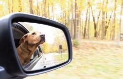 Transporting a pet can be hazardous to one's driving, especially if Fido or Fifi is not properly restrained
